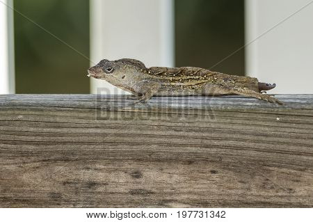 A small and cute gecko is in a wood post in deland Florida.