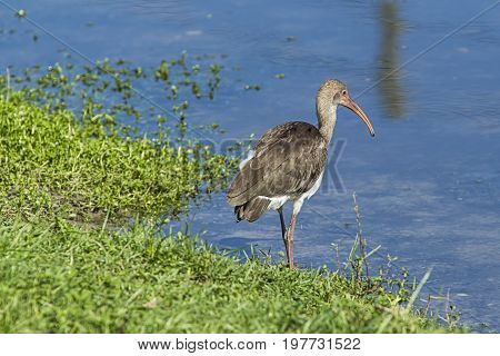 Young ibis stands by water in Deland Florida.