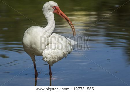 Ibis holds out wing in the water in Deland Florida.