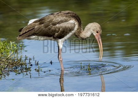 Young ibis drinks water in a calm pond in Deland Florida.