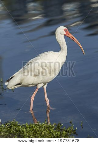Portrait of ibis in pond. An American white ibis wades in the water in Deland Florida.