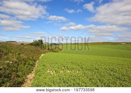 Hillside Pea Field