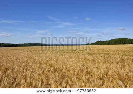 Barley And Woodland