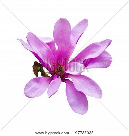 decoration of few magnolia flowers. Magnolia. Magnolia flower. Magnolia flower spring branch isolated on white clipping path included.