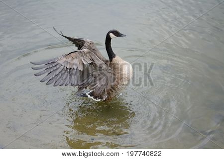 Canada Goose bathing and spreading wings in shallow part of lake