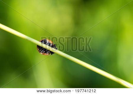 Bottom view of ladybug on grass blade natural green background