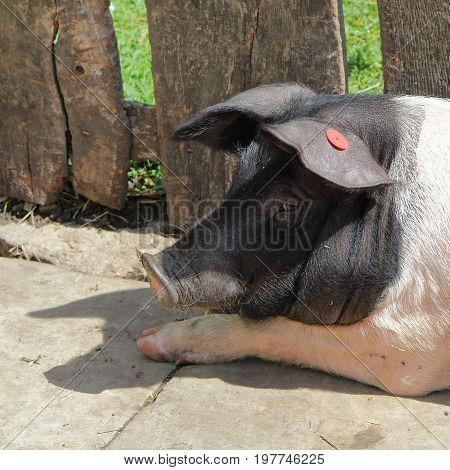 Closeup Portrait Of A British Saddleback Pig (sus Scrofa Domesticus) In Summer Sunshine