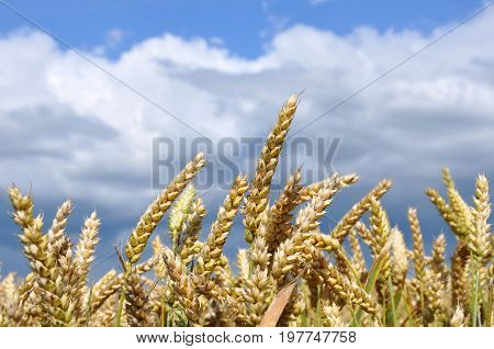 Yellow agricultural wheat field against the cloudy sky ears with grains close up.