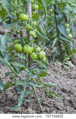 Green Tomato Growing In The Garden 2