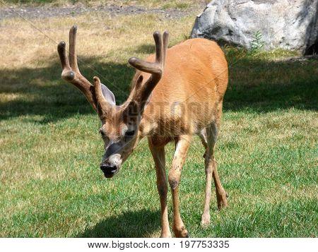 A white tailed deer (Buck) that still  has velvet on his antlers.