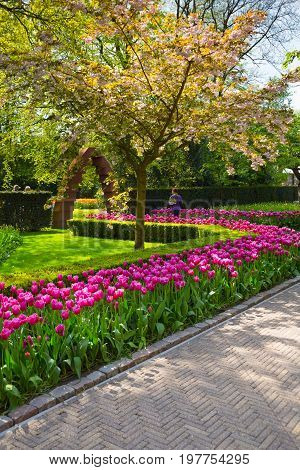 Lisse, Netherlands - May 7, 2016: Keukenhof park, Netherlands. Flower bed of colourful tulips in spring. Colorful tulips in the Keukenhof park, Netherlands. Fresh blooming tulips in the spring garden.
