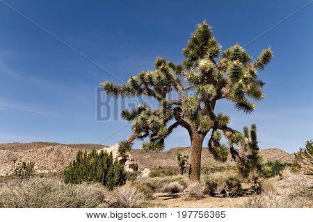 Landscape of Mojave desert and Joshua tree in California Joshua Tree National Park USA