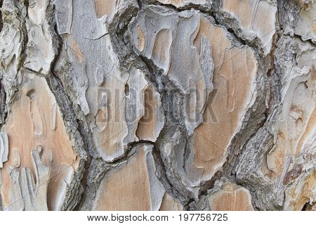 Old big pine tree bark with cracks and rifts  close up texture or background.