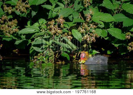 A baby coot is swiming and eating leaf in a lake.