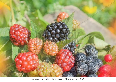 Fresh Blackberries In A Garden