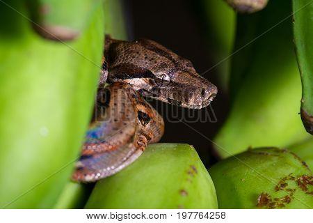 Small Boa Constrictor