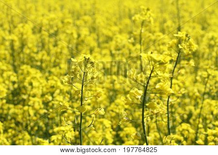 Rapeseed flower against rapeseed field at the springtime