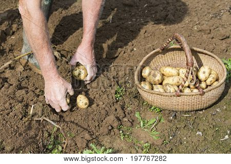 Digging up fresh potatoes with fork shovel outdoors hands of the gardener