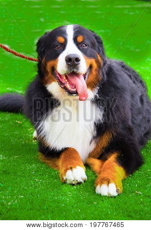 Close up of a nice Greater Swiss Mountain Dog in autumn in a dog competition.