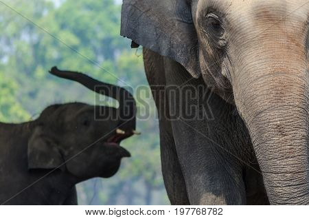 Elephant and baby elephant in Chitwan National ParkNepal