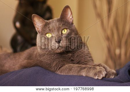 Beautiful gray cat rests placidly in your home