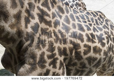 Side view of a masai giraffe showing its jagged spot and skin texture.