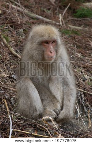Small snow monkey seated among dried branches and twigs. Shallow depth of field.