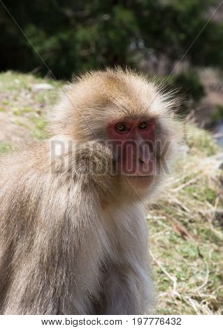 Close up of a snow monkey or Japanese macaque sitting in a field. Photographed with shallow depth of field.