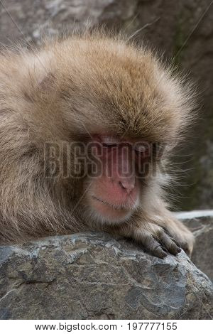 Close up of an adult snow monkey or Japanese macaque napping on a boulder with its head resting on its forearm.