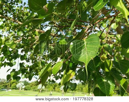 Leaves of Sacred Fig (Ficus religiosa). Sacred fig is a species of fig native to Indian subcontinent, south-west China and Indochina.