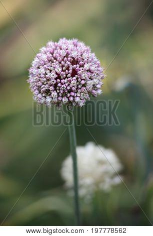 Beautiful allium flower blooming in the garden