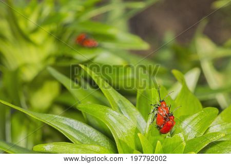 Two pairs of red beetles reproduce on green leaves