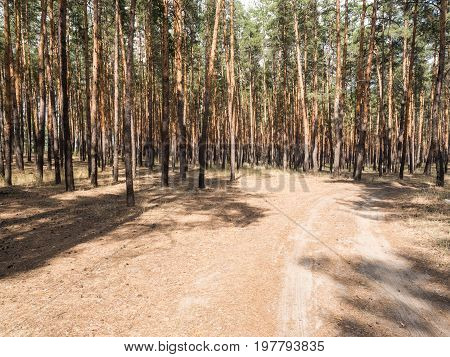 Summer pine forest on bright Sunny day. Unpaved, sandy road through the tall pines. Shadows from the bright midday sun