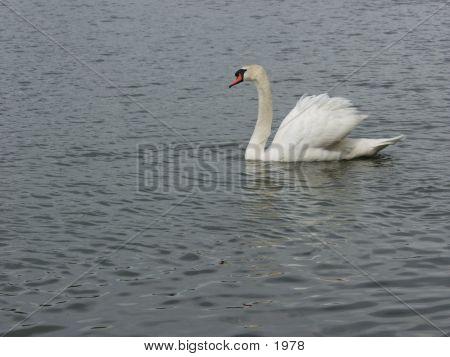 Swan 3379