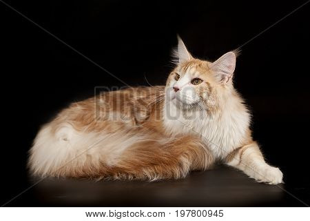 Large fluffy creamy red cat maine coon on a black background. Cat with a fluffy tail.