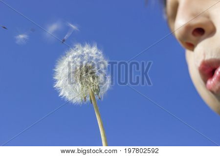 Dandelion Blowing With Seeds Blowing Away