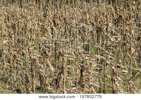 Dried Corn Stalks Background