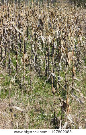 Dried Corn Stalks Background 2