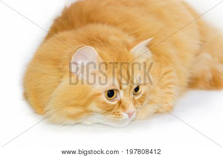 Furry red cat sat down and focused on a white background close-up