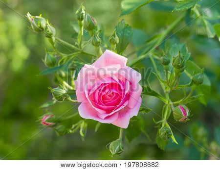 Branch with one pink flower and several buds of the Bourbon rose on the blurred background of a rose bush