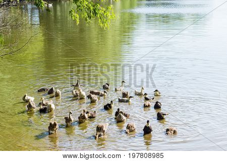 Group of the goslings of a domestic gray geese and domestic ducklings bathe in pond