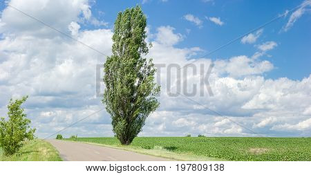 Solitary black poplar on the roadside of a rural road among the fields in summer in windy weather