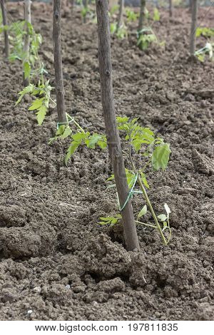 Young Tomato Plants With Wood Stakes In The Garden 2