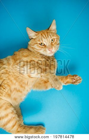 Red adorable cat with curious look on blue background. Fluffy domestic pet with striped coat, yellow eyes and long whiskers. Popular feline purebred