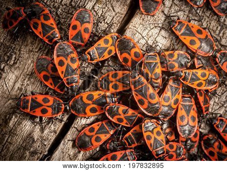 A group of fire bugs in spring on a piece of wood