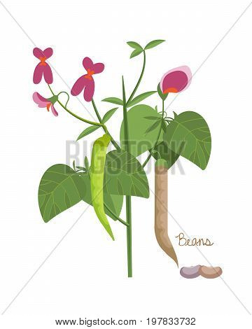 Concept of legumes plants with leaves and seeds. Red, white, french beans. Vegetarian or vegan vitamin healthy nutrition food and cuisine. Vector illustration isolated on white background.
