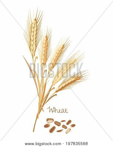 Concept of cereals plants. Wheat with leaves, stems and grains. Food and ingredients for cooking. Harvest. Organic food. Farmers product. Agriculture products. Vector illustration isolated.