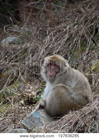 Adult snow monkey or Japanese macaque seated among dried vines looking at camera. Shallow depth of field.