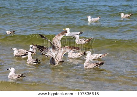 Many seagulls on waters of a Baltic sea in Kolobrzeg Poland