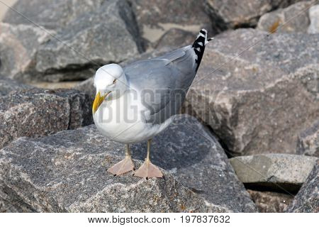 Seagull on rocks that has been captured on a beach at a Baltic Sea in Kolobrzeg in Poland